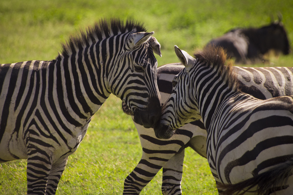 Zebra kissing
