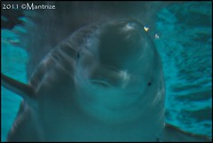 Yulka (Mantrize) Tags: city las de y arts ciudad science artes belugas ciencias oceanográfico cetacean kairo yulka cetáceos loceanográfic oceanográfic