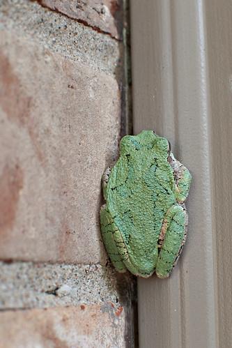 frog back