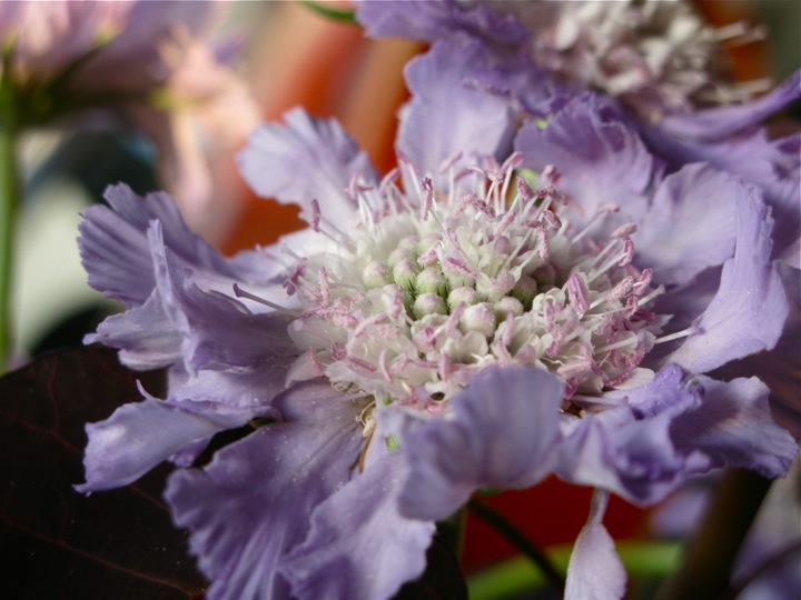 purple scabiosa flowers 007