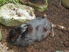 Sooty:Netherland Dwarf rabbit (Ambersky235) Tags: rabbit netherlanddwarfrabbit