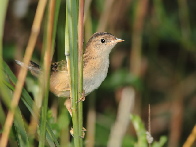 Sedge Wren close 3-20110819