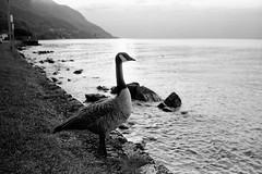 lake geneva 2011 (SimonSawSunlight) Tags: street leica white black france film st 35mm photography kodak trix documentary rangefinder goose m 400 analogue ilford m4 nokton voigtlnder 119 f12 lc29 ilfotec gingolph