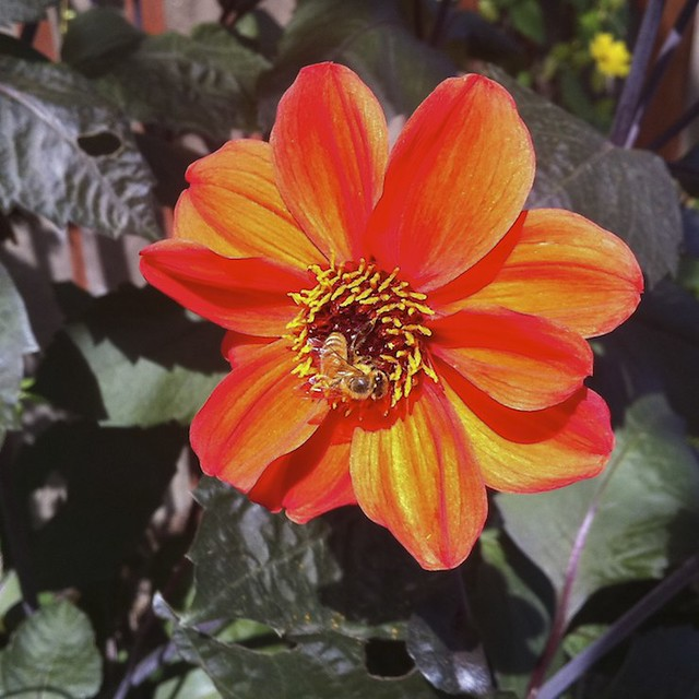233/365 Blazing Bee