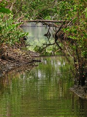Mangrove Swamp (Rodrigo Borçato) Tags: brazil nature water água brasil canon natureza crab mangrove santo siri espírito s5 mangue caranguejo aracruz biodiversidade s5is piraqueaçu rizophora