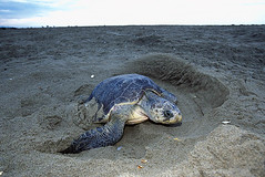 Tortuga marina (AB653_046).jpg (Alejandro Boneta) Tags: 2005 horizontal fauna 35mm playa arena oaxaca analoga tortuga diapositiva reptil cavar tortugamarina desovar playaescobilla