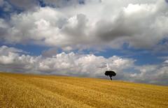 Tierra de Campos (Fran Villalba) Tags: rural rustico niceshot cielo nubes campo pino paja zamora tierra tierradecampos oterodesariegos villarrndecampos franvillalba
