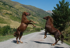 Lucha de Caballos II (pepe_casares) Tags: horse naturaleza nature caballo animales pirineo salvaje