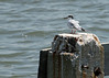 Forster's Tern