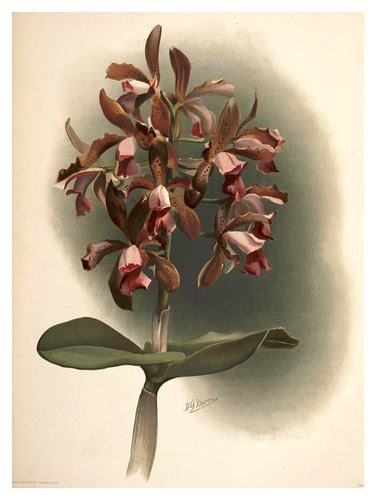 021-Cattleya Guttata Leopoldi-Reichenbachia-Orchids illustrated and described..VolI I-1888-F.Sander