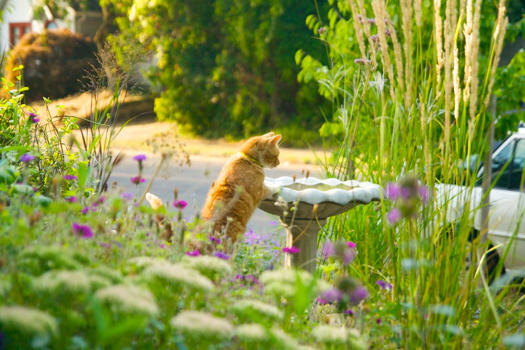 orange cat inspects birdbath  458