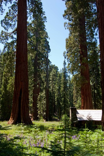 Giant Sequoias Near the Museum