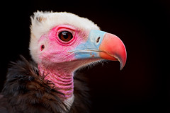Portrait of a colorful vulture (Tambako the Jaguar) Tags: pink blue portrait black france bird face nikon close profile explore alsace ugly vulture aigles volerie d700 avianexcellence