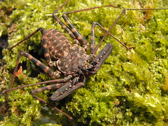 CIMG8381 (mantidboy) Tags: pet forest spider rainforest arachnid tail scorpion exotic bark scorpions whip cave charon hiding predator cf invertebrate dwelling insectivore tailless amblypygid tailess amblypygi grayii phillipenes grayi