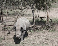 Baraka the Rhino (Sum_of_Marc) Tags: africa ol kenya centre rhino information kenia sanctuary afrique conservancy baraka morani pejeta  olpejeta  republicofkenya  moraniinformationcentre