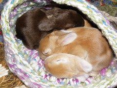 three buns in a hat2 (ixchelbunny) Tags: rabbit bunny bunnies babies nest newborn kits angora ixchel ixchelbunny
