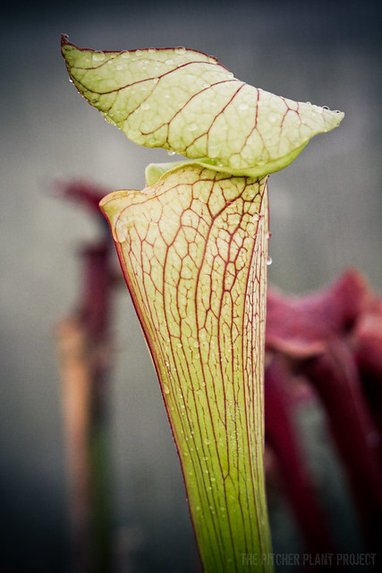 Sarracenia 'Wilkerson's Red' x 'Leah Wilkerson'