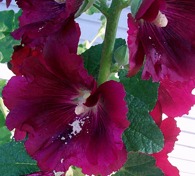 hollyhocks and memories