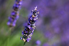 lavender 1 (jane_546) Tags: summer nature canon lavender differentialfocus