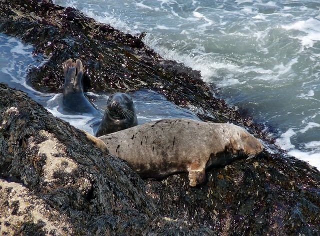 24909 - Seals at Worms Head, Gower