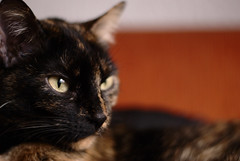 A cat named Bastet (Aztlek) Tags: portrait cat ojo photography 50mm nikon bogot nikkor f18 18 118 fotografa bastet d60 ufraw retratro 18g f118 f18g 118g afsnikkor50mmf18g f118g gatonikkor