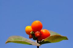 Petits fruits de l't...2 (anjoudiscus) Tags: light nature colors fruits contrast montral lumire couleurs ange contraste septembre 2011 d90 offrande vr28300mmnikon