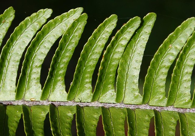 Fishbone Fern frond closeup