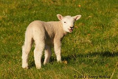 2011 08 28 (121ce) Lamb @ Cornwall Park-a55v-09 (Terry Hollis) Tags: newzealand cute sheep sony auckland lamb aotearoa cornwallpark anawesomeshot dslt terryhollis newgoldenseal blinkagain a55v sonyafdt55200mmf456sam