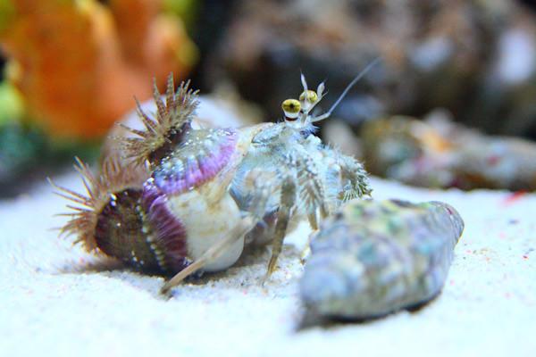 Hermit.Crab