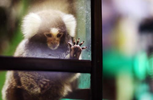 フリー写真素材, 動物, 哺乳類, コモンマーモセット, 窓辺,