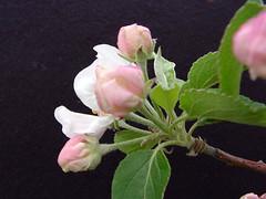 M.7 EMLA Flower Cluster