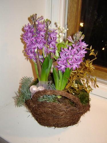 Hyacinth Xmas 2006