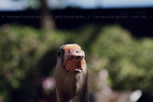 What a proud goose by twoguineapigs pet photography | bird photography