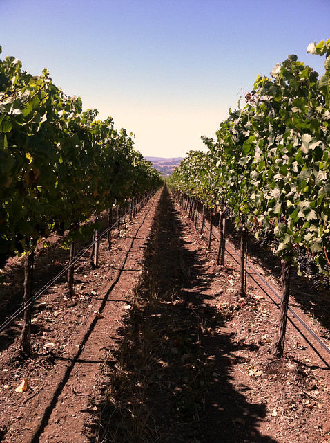 Vineyard 2011 Rows of Grapes.jpg