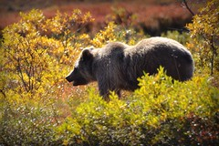 Grizzly Bear - Animal - Wildlife - Alaska (blmiers2) Tags: bear travel autumn orange brown green fall nature beautiful animal animals yellow alaska nikon wildlife explore grizzly denali grizzlybear ursusarctoshorribilis d3100 blm18 blmiers2
