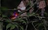 Philippine Dwarf-kingfisher Ceyx melanurus (Bram Demeulemeester - Birdguiding Philippines) Tags: zamboanga pasonanca bramdemeulemeester ceyxmelanurus philippinedwarfkingfisher birdguidingphilippines philippinesbirdingtours