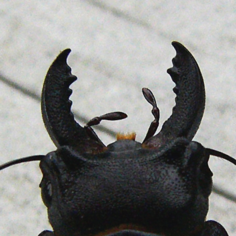 070601_stag_beetle