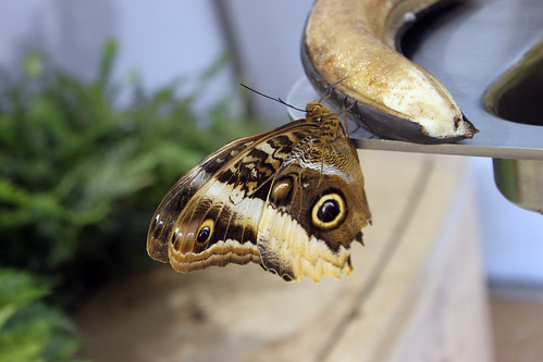 Butterfly eating banana nectar