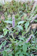 Elsholtzia ciliata (Thunb.) Hylande (Lamiaceae)r