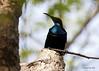 Magnificent Riflebird- male (Greg Miles) Tags: australia queensland capeyork telegraphroad capeyorkpeninsula wenlockriver ptilorismagnificus moretontelegraphstation magnificentriflebird