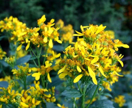 Wingstem5Sept2011