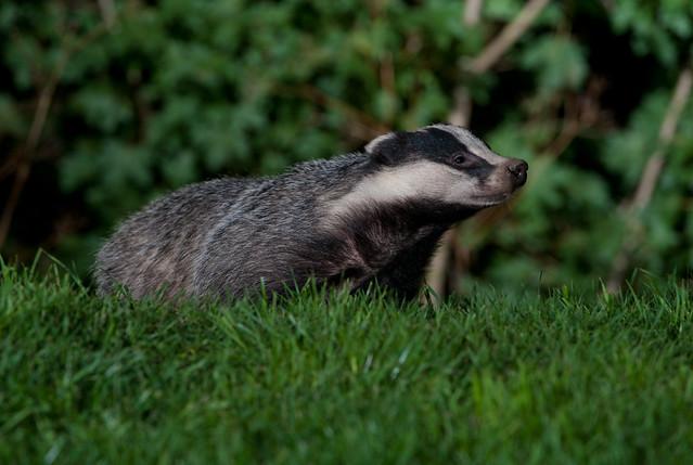 badger_