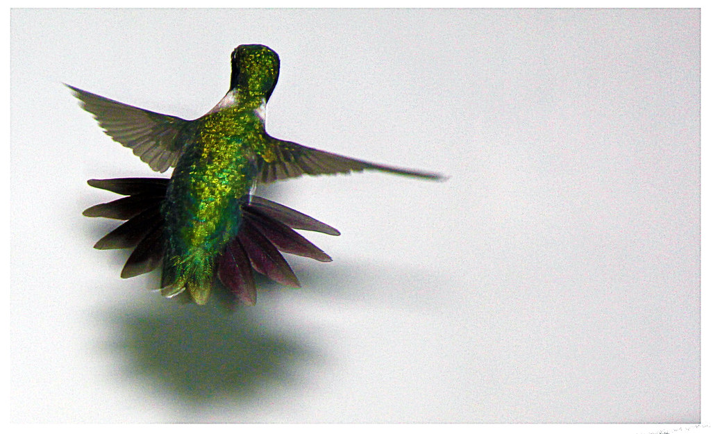 Spread your wings and fly  (male - forked tail)
