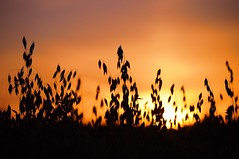 Focus on oats (beyondhue) Tags: light sunset summer sky orange plant ontario canada nature silhouette experimental farm ottawa farming central harvest crop oats beyondhue