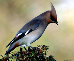 Waxwing 4 (Buzzard2001) Tags: 2 portrait bird me nature closeup photography you ngc 1001nights ornithology waxwing birdwatcher migrant bombycilla bombycillagarrulus bohemianwaxwing naturesfinest thegalaxy magicofnature fantasticnature natureplus bgbw flickraward flickrdiamond birdportraits natureselegantshots alittlebeauty doubleniceshot tripleniceshot 1001nightsmagiccity mygearandme mygearandmepremium mygearandmebronze mygearandmesilver mygearandmegold mygearandmeplatinum mygearandmediamond dblringexcellence tplringexcellence amazingwildlifephotography artistoftheyearlevel3 musictomyeyeslevel1 aboveandbeyondlevel1 flickrstruereflection1 flickrstruereflection2 flickrstruereflection3 flickrstruereflection4 flickrstruereflection5 flickrstruereflection6 flickrstruereflection7 eltringexcellence flickrstruereflectionexcellence trueexcellence1 allofnatureswildlifelevel1 allofnatureswildlifelevel2 allofnatureswildlifelevel3 allofnatureswildlifelevel4 allofnatureswildlifelevel5 allofnatureswildlifelevel8 allofnatureswildlifelevel6 allofnatureswildlifelevel7 aboveandbeyondlevel2 rememberthatmomentlevel4 rememberthatmomentlevel1 flickrsfinestimages1 rememberthatmomentlevel2 rememberthatmomentlevel3 me2youphotographylevel2 me2youphotographylevel3 me2youphotographylevel1 freedomtosoarlevel1birdphotosonly freedomtosoarlevel2birdphotosonly rememberthatmomentlevel5 me2youphotographylevel4