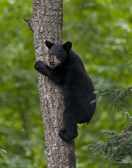 Black Bear Cub Descending Tree (Glatz Nature Photography) Tags: bears animalplanet blackbear bearcub ursusamericanus animalbaby bearintree climbingbear amazingwildlifephotography photocontesttnc11 minnesota2011