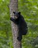 Black Bear Cub Descending Tree (Glatz Nature Photography) Tags: bears animalplanet blackbear bearcub ursusamericanus animalbaby bearintree climbingbear amazingwildlifephotography photocontesttnc11 minnesota2011