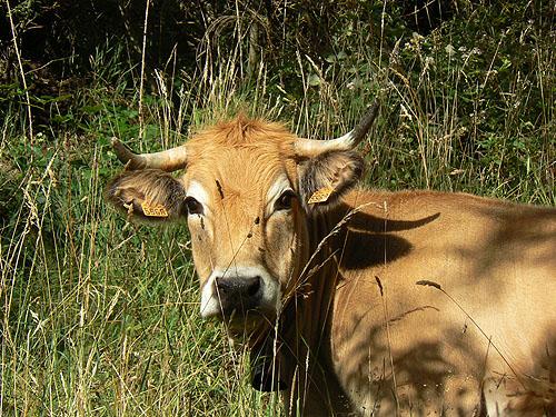 la vache et ....jpg