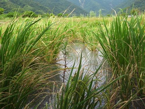 冠宇小美自然農 雁鴨喜歡光臨的水田區裡的筊白筍
