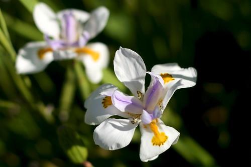 Day 225 - Dietes Grandiflora